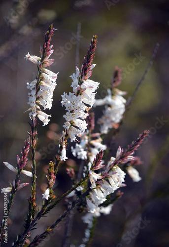 White flowers of the australian native blunt leaf heath epacris white flowers of the australian native blunt leaf heath epacris obtusifolia growing in mightylinksfo