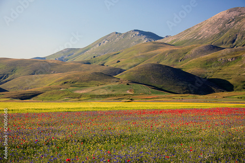 Foto Spatwand Honing The wonderful lentil flowering in Castelluccio di Norcia. Thousands of colours, flowers and wheat. a beautiful landscape
