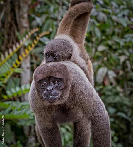Foto Spatwand Aap Common wooly monkey - Amazon rainforest - lagothrix lagotricha