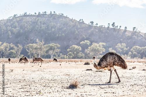 A Lot Of Emu Birds In Ikara Flinders Ranges National Park South