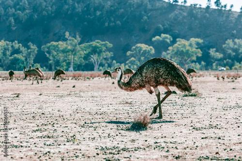 Foto Spatwand Groen blauw Flock of Emus in Flinders Ranges, South Australia