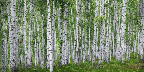 Aluminium Berkenbos Birch tress forest in the countryside of russia
