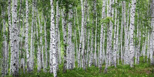 Foto Spatwand Berkenbos Birch tress forest in the countryside of russia