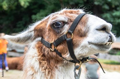 In de dag Kameel Nahaufnahme eines Lamas