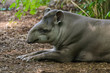 Quadro Lowland tapir resting in the shade