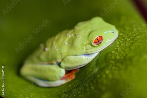 Foto Spatwand Kikker Red eyed tree frog sitting on a banana leaf