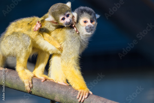 In de dag Aap A young squirrel monkey riding on its mothers back