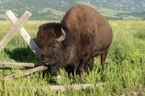 Canvas Bison American Buffalo Ready to Charge