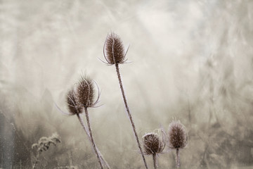 Winter frosted flower © AurraMinna