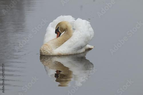 Canvas Zwaan Swan, Cygnus