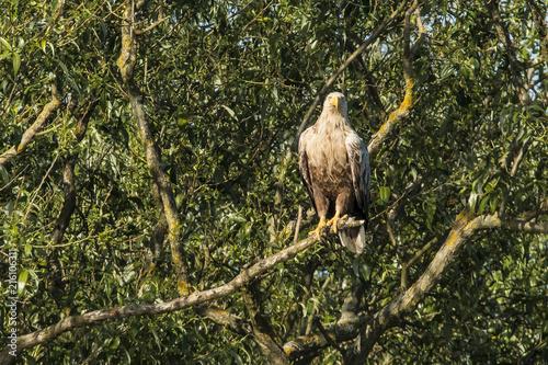 Canvas Eagle White Tailed Eagle, Haliaeetus albicilla