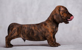 cute puppy Dachshund on a gray background in the Studio tiger color