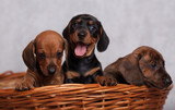 lots of cute Dachshund puppies on grey background in Studio isolated in basket