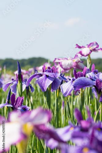 Canvas Iris 菖蒲