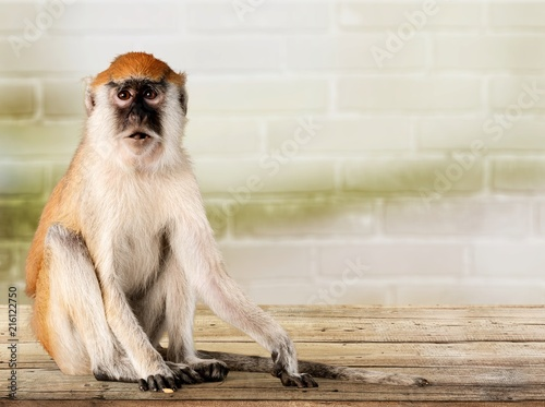 Foto Murales Monkey animal over background
