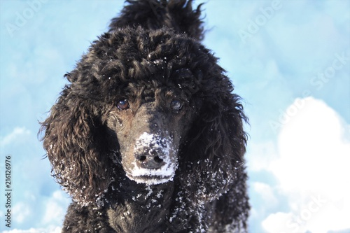 Leinwandbild Motiv Hund Pudel Puppy schwarz im Schnee.