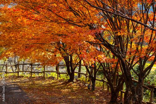 Foto Spatwand Rood traf. 紅葉 モミジとカエデ 宮崎県西米良作小屋周辺32