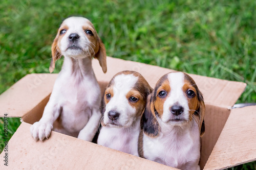 Three puppies of the breed are Estonian hound in a cardboard box, put up for sale_
