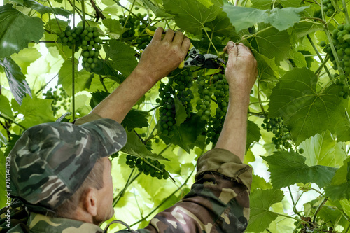 Gardener man cuts branches of green grapes.