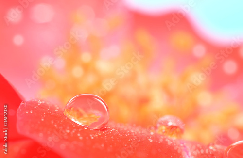 Water drop extreme large on flower petal