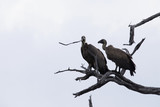 White-backed vulture, Gyps africanus, sitting on dry branches, Bwabwata, Botswana