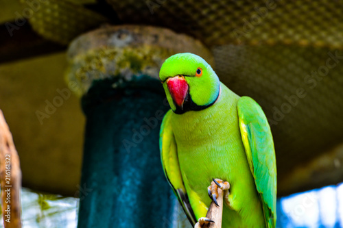Foto Spatwand Papegaai The rose-ringed parakeet (Psittacula krameri), also known as the ring-necked parakeet, is a medium-sized parrot in the genus Psittacula of the family Psittacidae and has a very wide range.