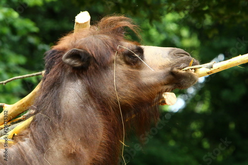 Fotobehang Kameel верблюд живет в клетке за высоким забором в зоопарке