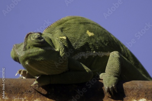 Plexiglas Kameleon Camellion 2