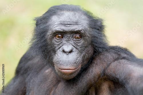 Foto Spatwand Aap Scimmia primate Bonobo Pan Paniscus nella riserva in Repubblica Democratica del Congo