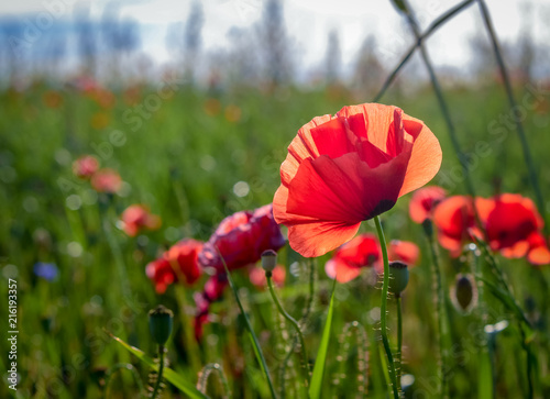 Red poppies blossoming in a meadow - 216193357