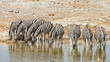 Herd of zebras drink at a waterhole in Etosha National Park, Namibia