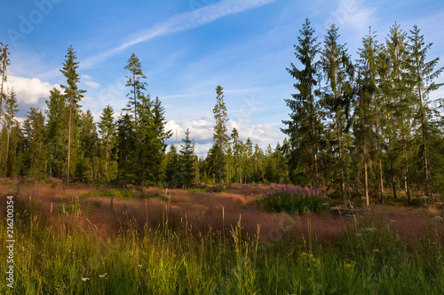 edge of a pine forest