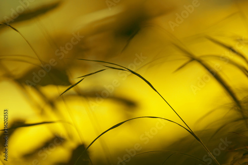 Artistic blurry yellow gold colored grass background. Selective focus used.