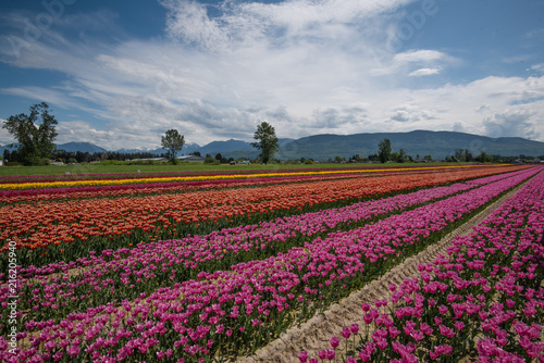 Fotobehang Tulpen A field of tulips