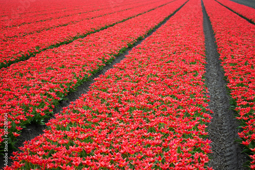 Fotobehang Tulpen Dutch flower fields
