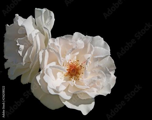 Leinwanddruck Bild Freigestellte Rose mit offener Blüte auf schwarzen Hintergrund