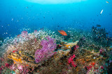 Tropical fish swimming over a beautiful, colorful, healthy tropical coral reef