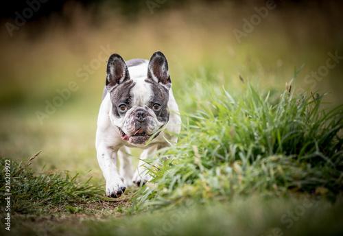 Foto Spatwand Franse bulldog The French Bulldog