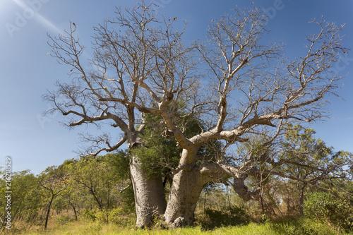 Foto Spatwand Baobab A spectacular Boab Tree in the town of Kununurra Western Australia.