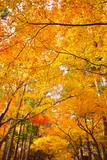 紅葉シーズンの京都、紅葉の森   - 216222123