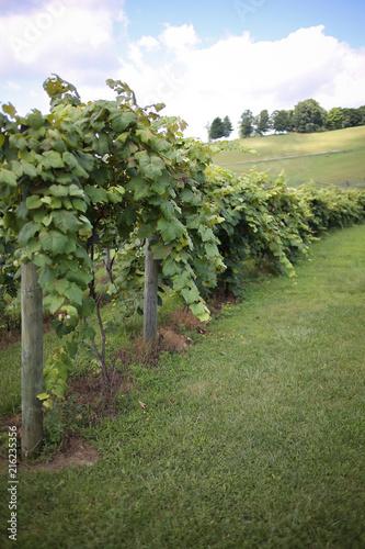 Foto Spatwand Wijngaard Grape Vines at a Winery Vineyard