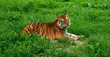 One tiger (Panthera tigris) resting in the green grass