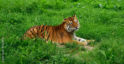 Canvas Tijger One tiger (Panthera tigris) resting in the green grass