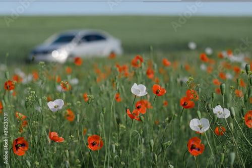 Walk along the poppy field - 216238701