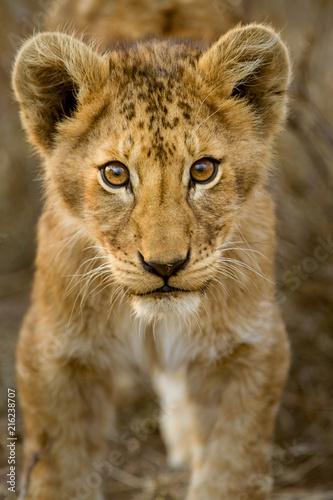 Poster Cuccioli di leone leoncini nel parco nazionale del Serengeti in Tanzania