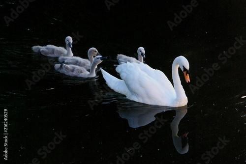 Canvas Zwaan Swans