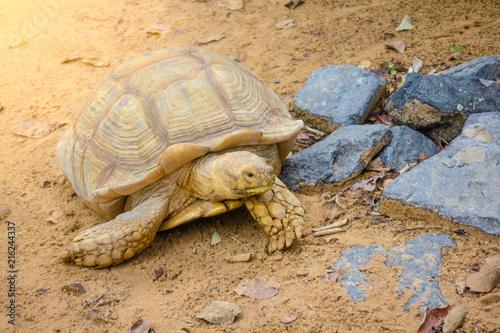 Foto Spatwand Schildpad Sulcata tortoise,African spurred tortoise