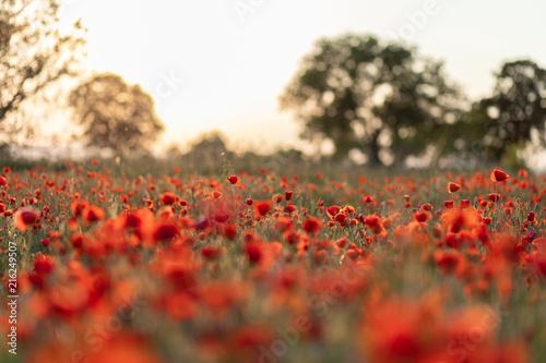 In de dag Klaprozen Mohnblumen im Sonnenuntergang