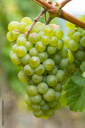 Leinwandbild Motiv Reife grüne Trauben an der Weinrebe