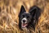 Border collie female dog